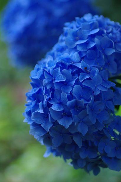 Blue Hydrangea Foto S Van R In 2020 Blue Hydrangea Blue Garden Blue Flowers