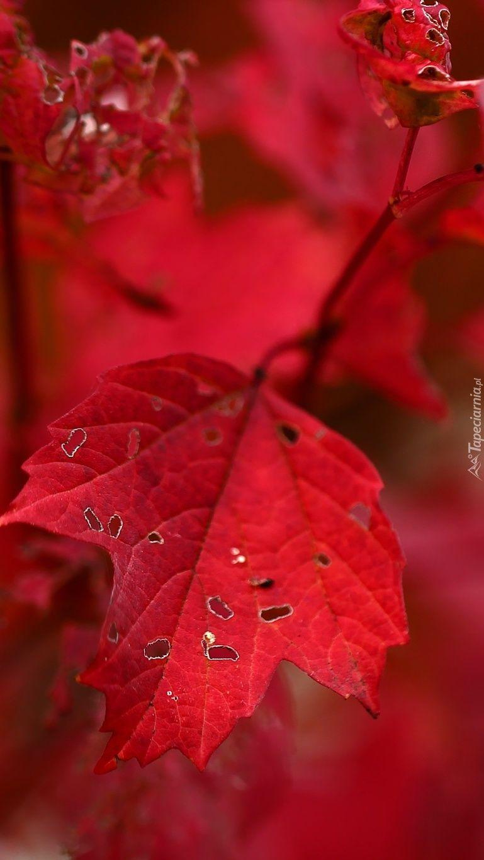 Czerwone Liscie Jesieni Plants Plant Leaves Leaves