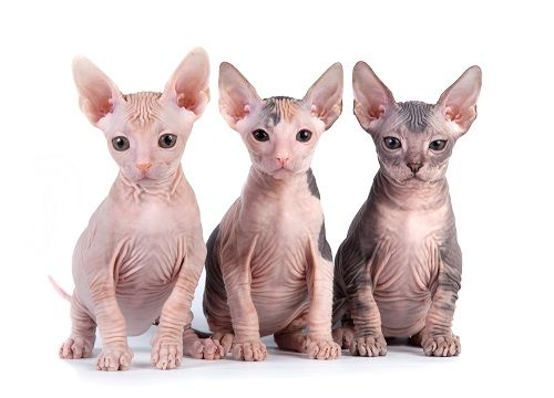 Norwegian Forest Cat A Z Pictures Of User Submitted Cats 10 Hairless Cat Egyptian Cat Breeds Cat Work