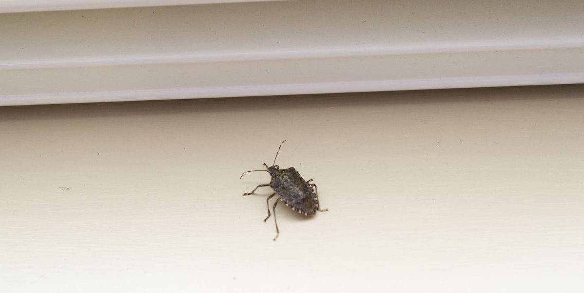 How To Keep Stink Bugs Out Of Your House Ncleaningtips Com