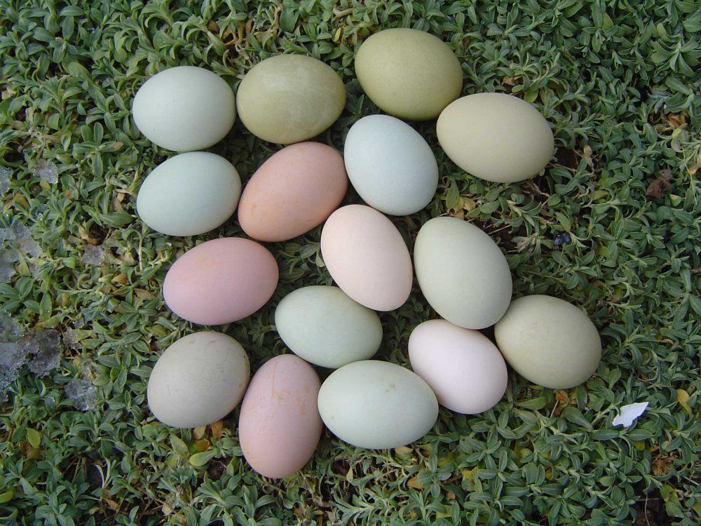 This Is What Ameraucana Chicken Eggs Look Like Best Egg
