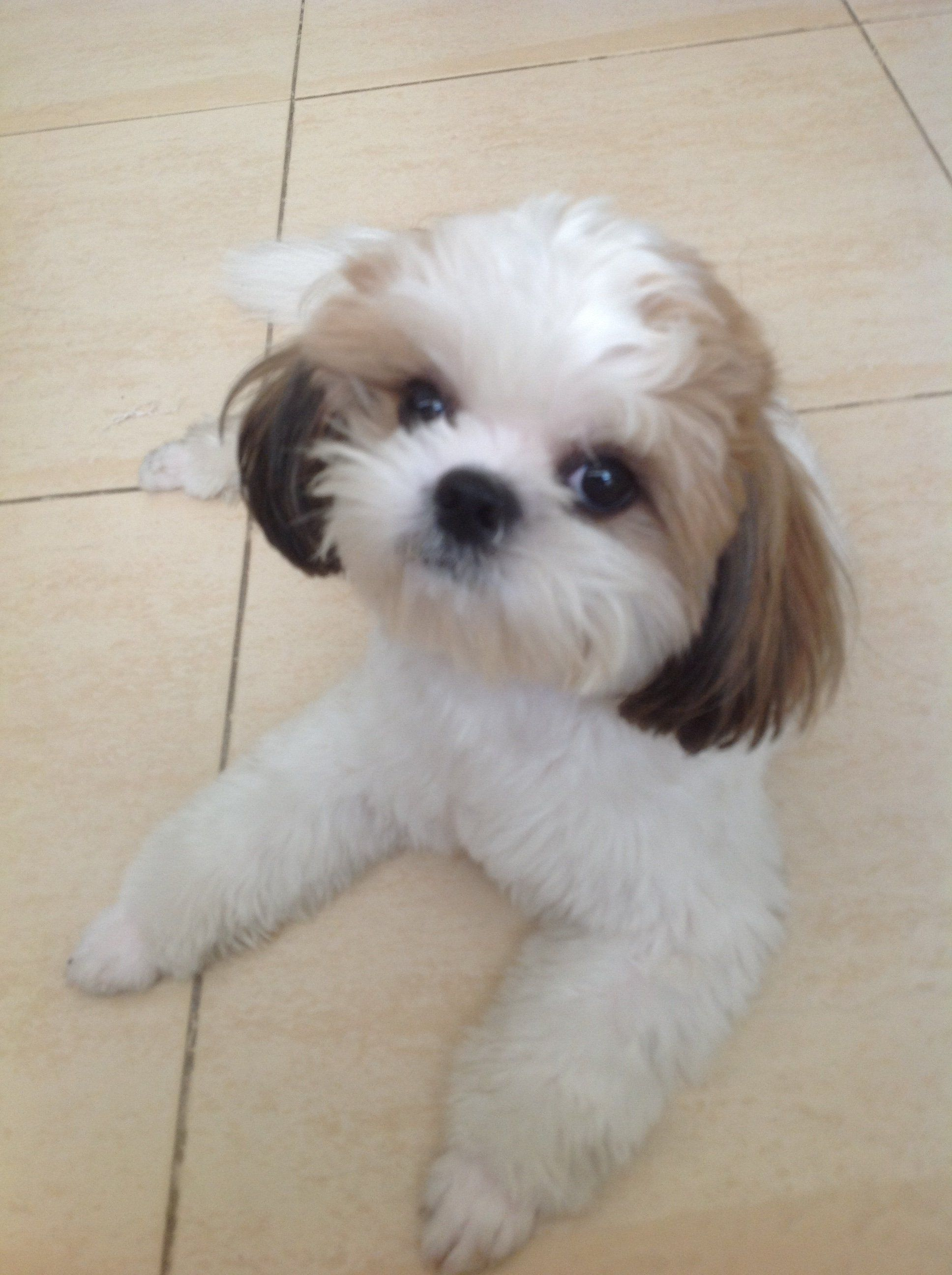 haircut styles for shih tzu dogs looking neat and sharp after his haircut shih tzu 3781