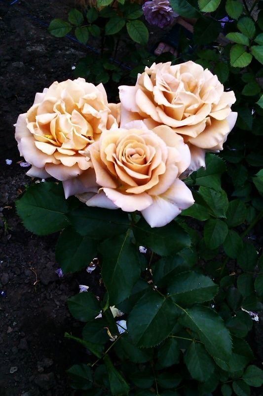 Die besten 25 rose foto ideen auf pinterest ros gold for Deko rosegold