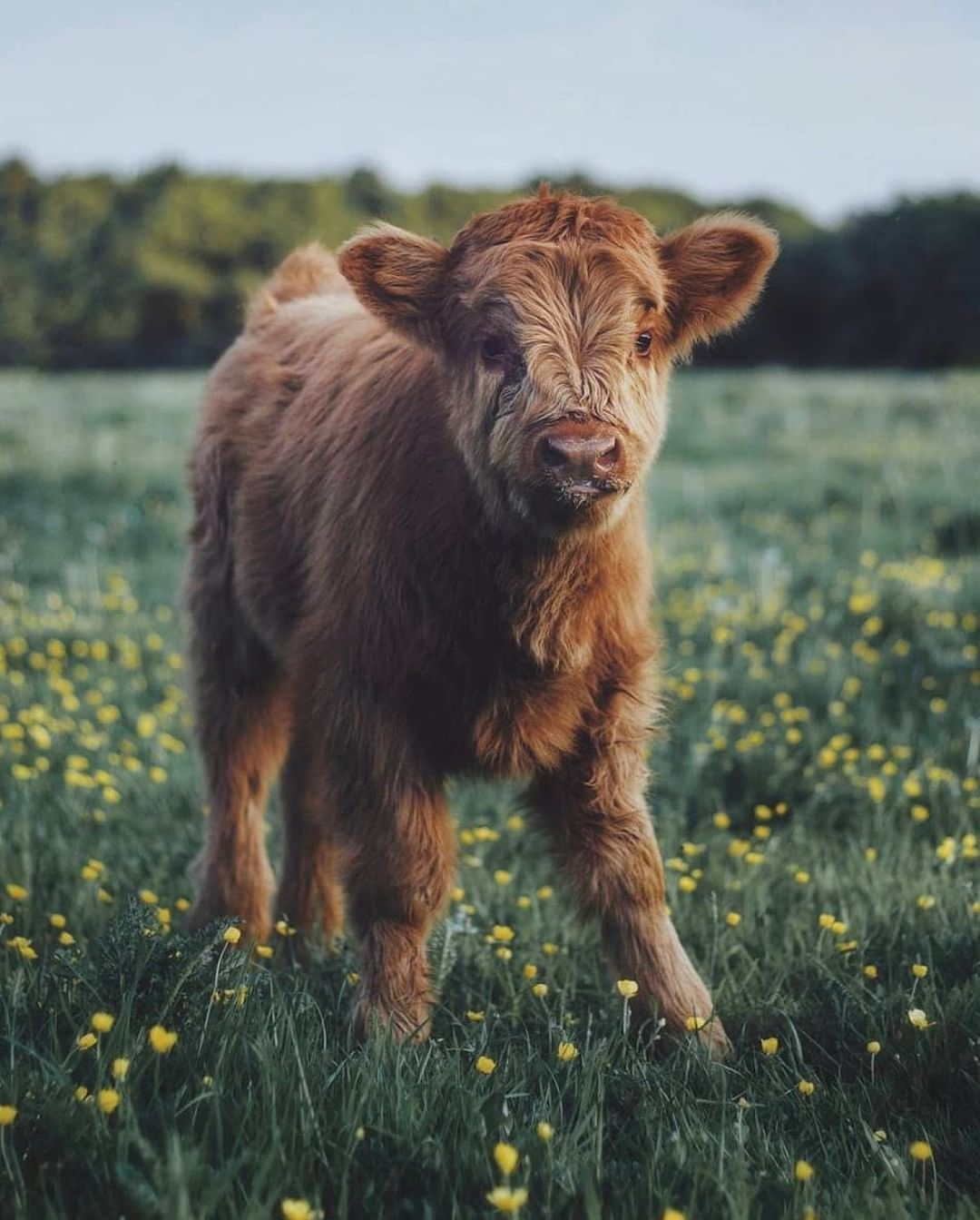 34 2k Likes 519 Comments Country Living Countrylivingmag On Instagram Cows Are Just Big Puppies And You Can Cute Baby Cow Fluffy Cows Baby Farm Animals