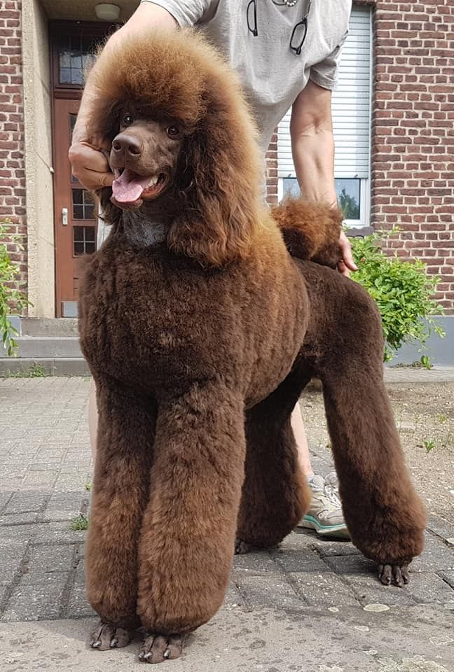 Brown Poodle Poodle Purebred Dogs Pet Dogs