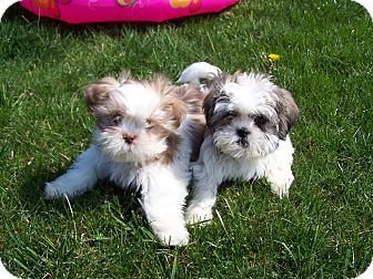 Milford Nj Shih Tzu Meet Nikki Dre A Puppy For Adoption