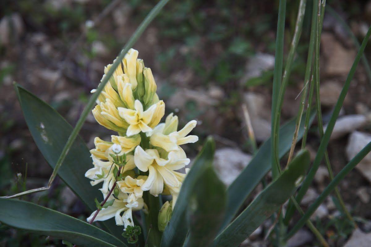 Photo of Hyacinthus