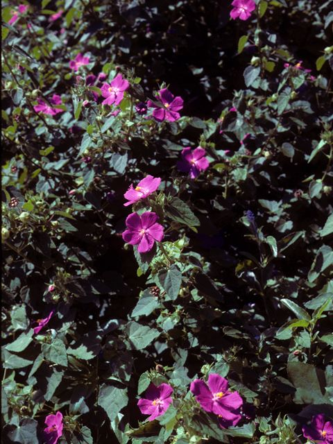 Texas Rock Rose. Drought-tolerant, reseeds, loved by butterflies and honeybees!