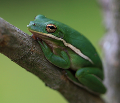 American Green Tree Frog (With images)   Green tree frog ...