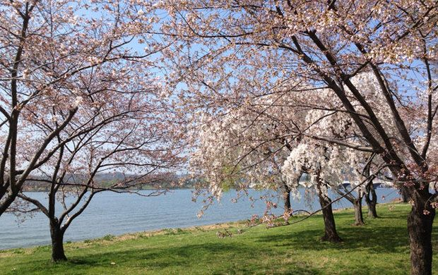 How Does The National Park Service Know When The Cherry Trees Will Blossom Washingtonian Dc Tree Cherry Tree Backyard Getaway
