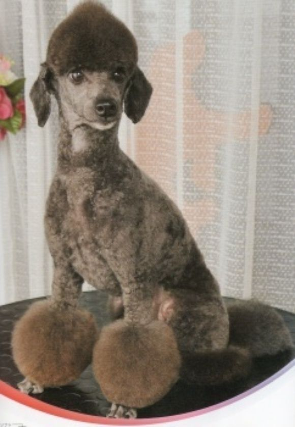Grooming Styles Poodles Standrds Minatures Toys Pinterest