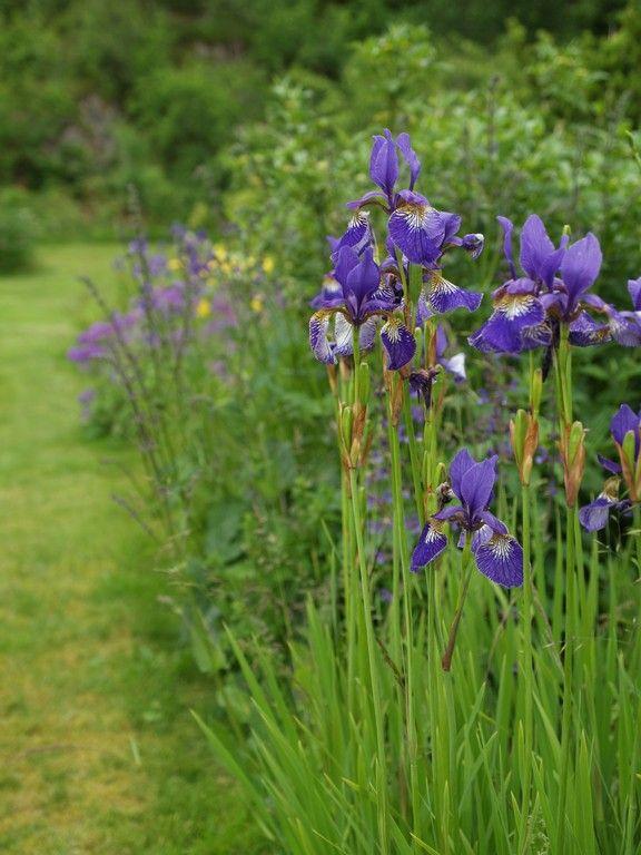 Siberian flag (Iris sibirica). June 28th 2015