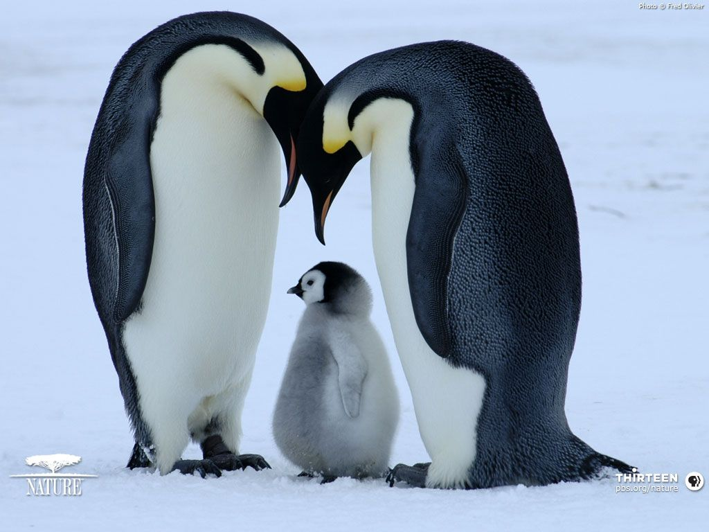 Baby emperor penguin stays with its parents at the polar house of - It S Unbelieveable What Every Pair Of Emperor Penguins Go Through To
