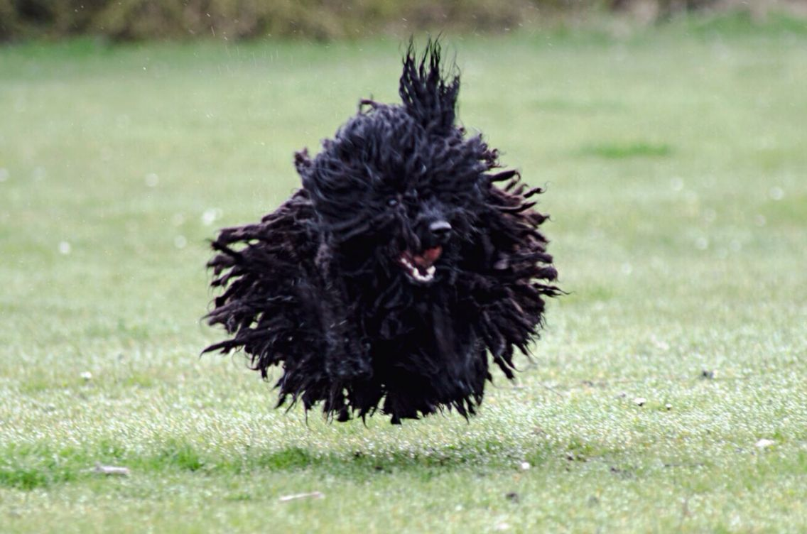 Our Zebbie The Flying Hungarian Puli Nearly 3 Years Old And Can Now Resemble Black Tumbleweed Hungarian Puli Pulik Puli