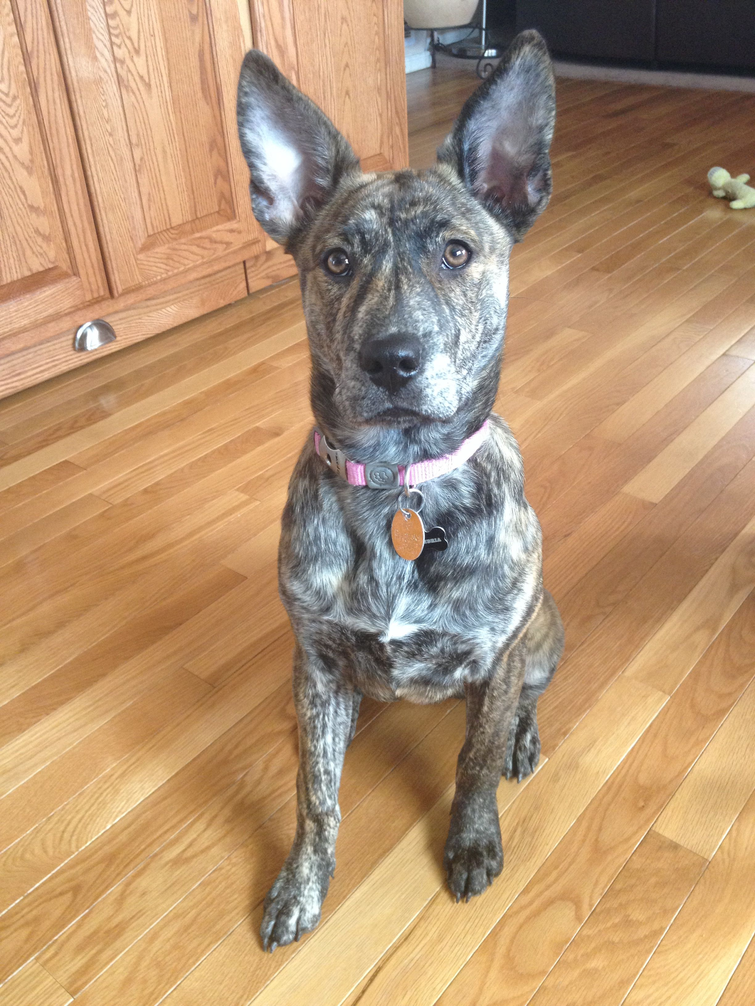 German Shepherd Husky Pitbull Mix 5 Months Old Brindle Puppy