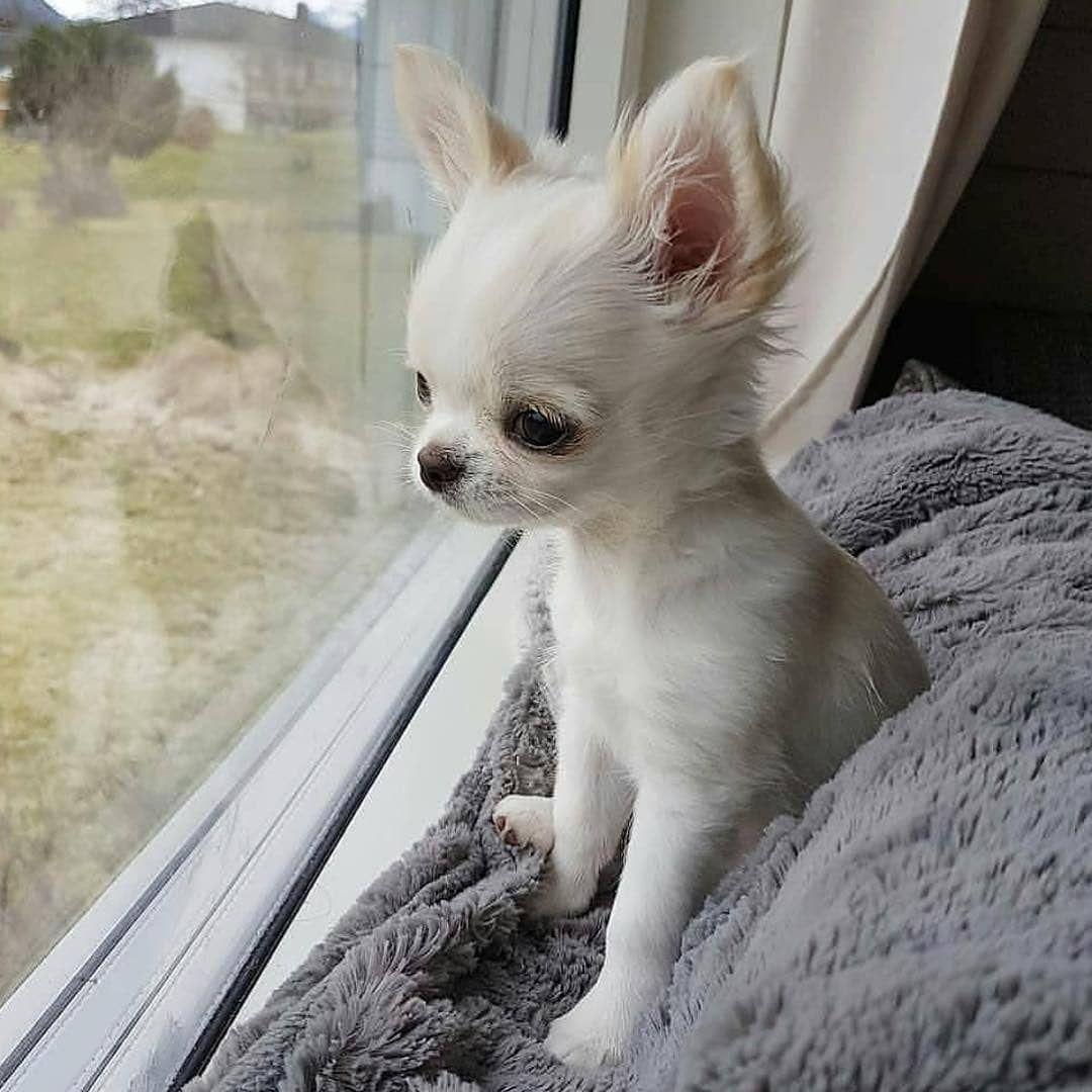 Chihuahua Puppy Chihuahua Puppies Teacup Chihuahua Puppies Cute Baby Animals