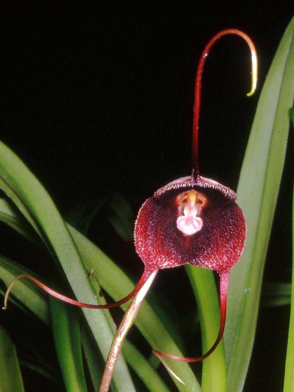 Draculabenedictiiorchig pixel orchids