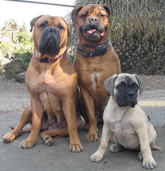 We Are Family Bull Mastiff Dogs Mastiff Puppies Dog Breeds