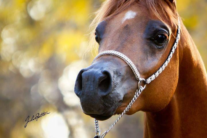 arabian horse in the autumn