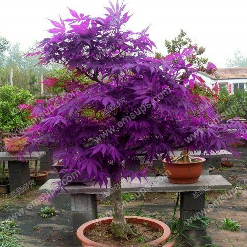 50 Purple Ghost Japanese Maple Tree Seeds Train As A Miniature