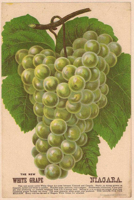 Items Similar To 1890s Botanical Print Grapes White Niagara Antique Nursery Catalog Lithograph On Etsy 果物