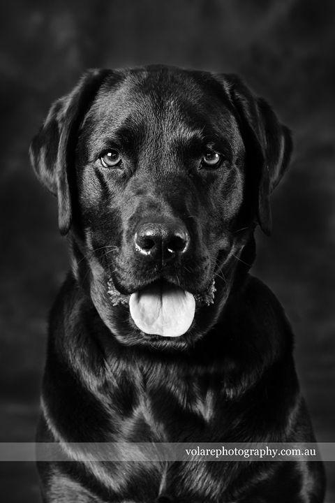 Black Labrador Photos The Duke Of Earl Black Labrador