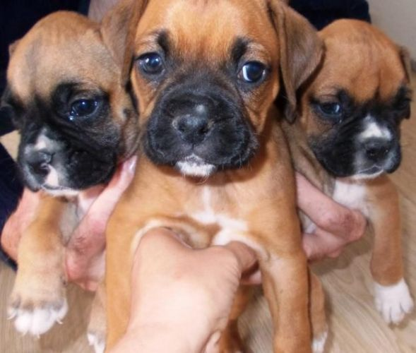 Boxer Puppies Beautiful Boxer Puppies For Sale In Johannesburg