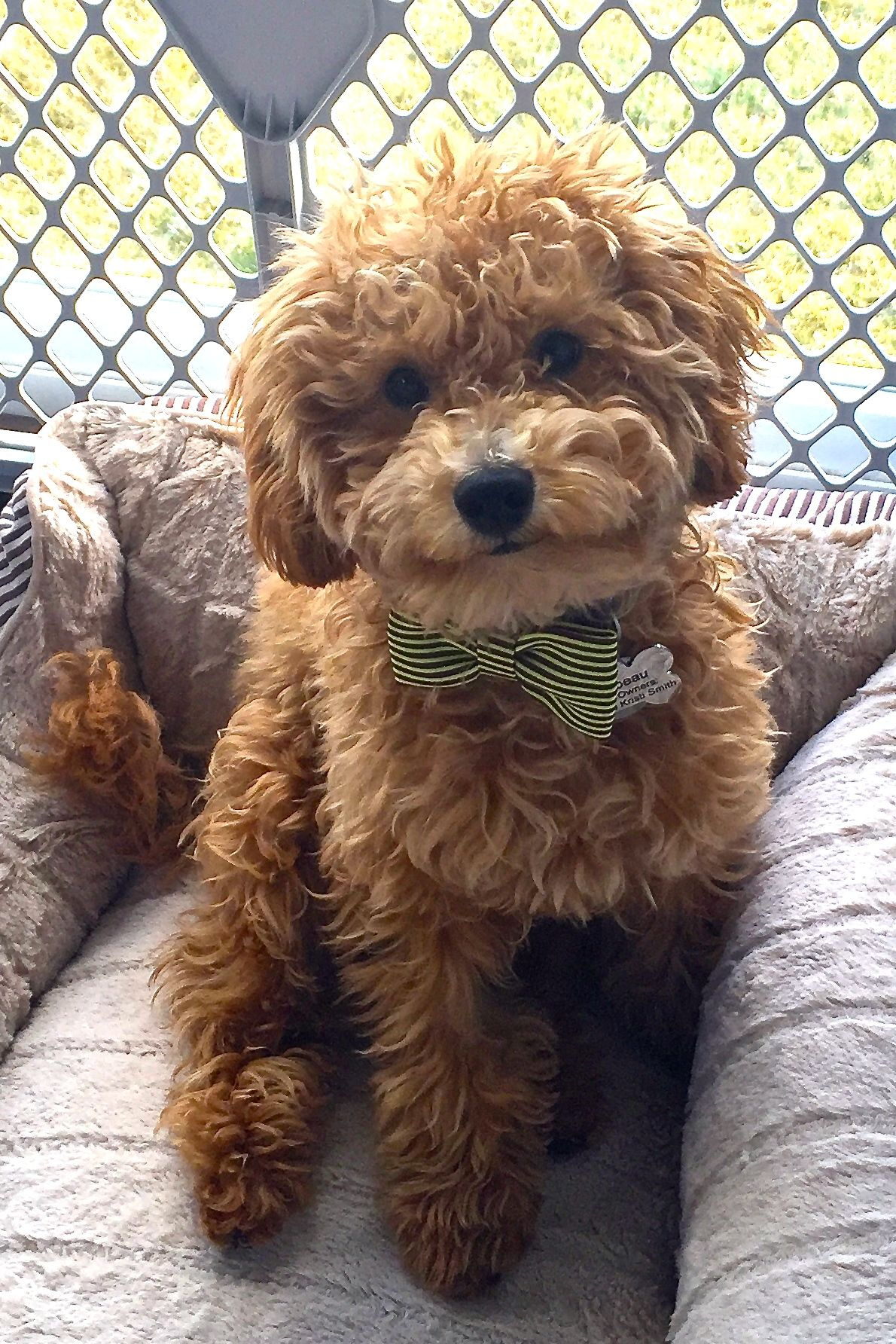 My Handsome Apricot Mini Poodle Puppy Lambeau Poodle Puppy
