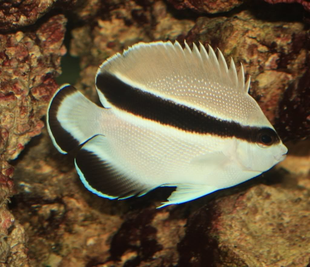 Bandit Angelfish