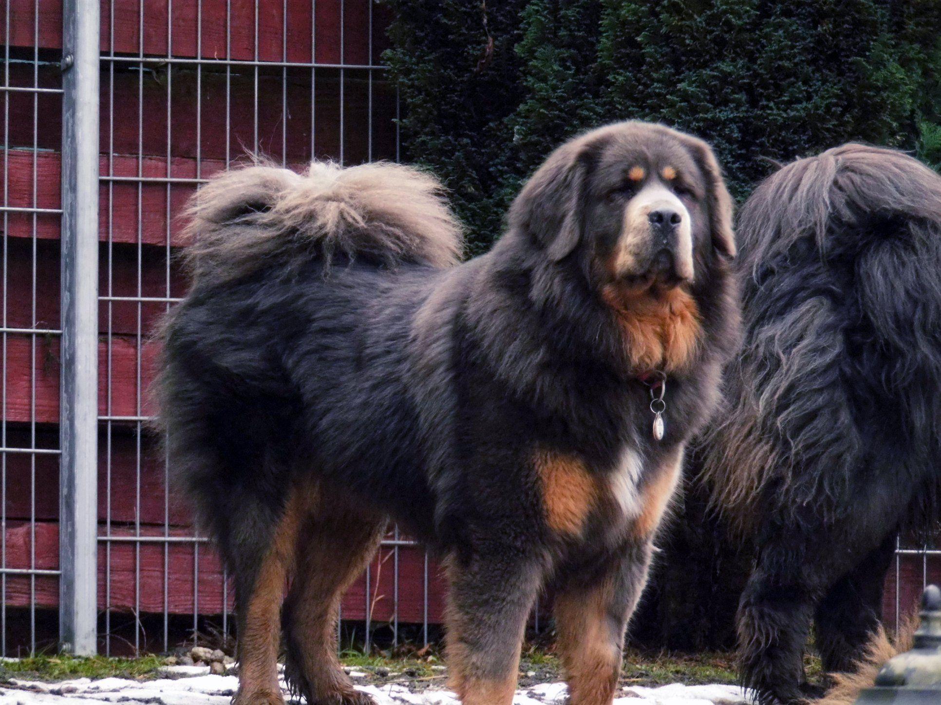 Blue tibetan mastiff from dokhyi kennel tibetan mastiff