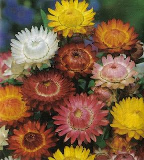 Strawflower - I remember my grandma drying these from her own garden.