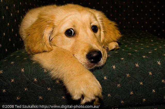 Golden Retriever Puppy Gucio What Do You Think Retriever Puppy Golden Retriever Puppies