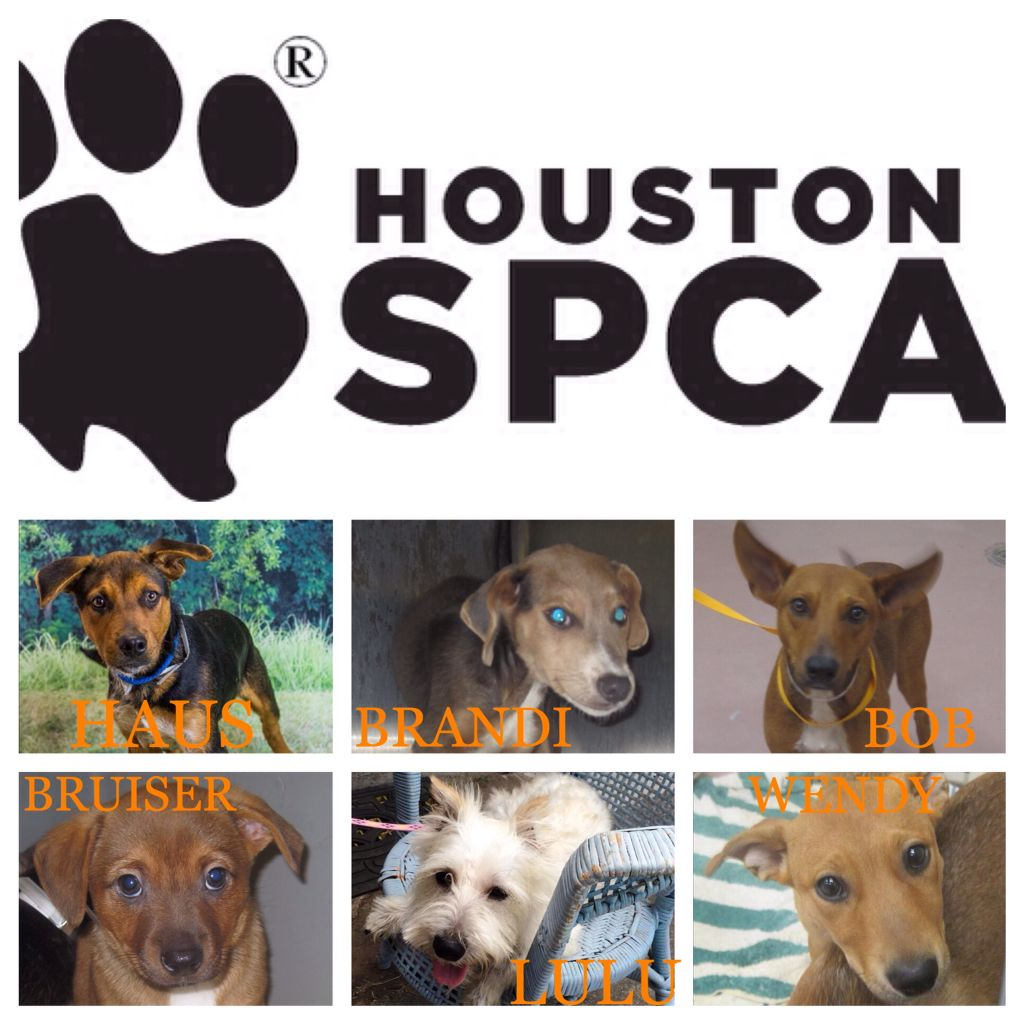 Pet Adoption Event Houston Spca Will Be At Rocky Maggie S Tomorrow From 12 4pm You Can Adopt And Leave With Pet Adoption Event Doberman Mix Blue Doberman