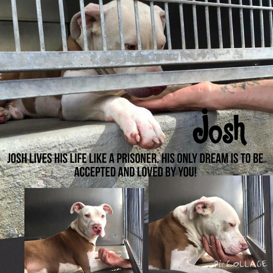 11/05/15-  Pit a Boo 21 hrs · Edited ·     JOSH-ID #A488129 (MUST EXIT 11/5) like in prison....but without a crime.   Jason Catlin picture I am a male, tan and white Pit Bull Terrier mix. I have been at the shelter since Oct 29, 2015. For more information about this animal, call: San Bernardino City Animal Control at (909) 384-1304 Ask for information about animal ID number A488129 Petharbor link: http://www.petharbor.com/pet.asp?uaid=SBCT.A488129