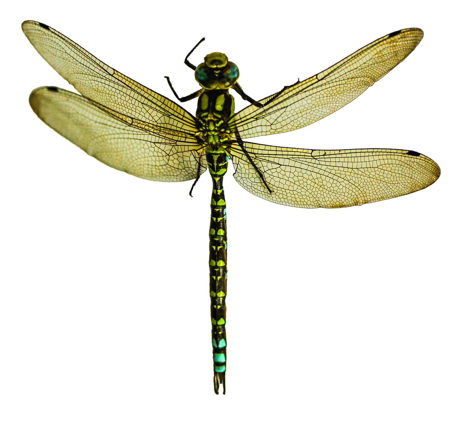 Dragonfly Png Image Dragonfly Insects Tan Combat Boots