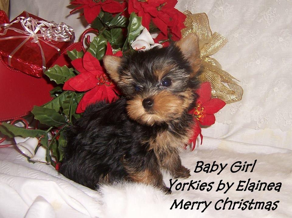 Tiny Yorkie Puppy For Sale In Arkansas Yorkie Puppy For Sale Yorkie Puppy Toy Dog Breeds