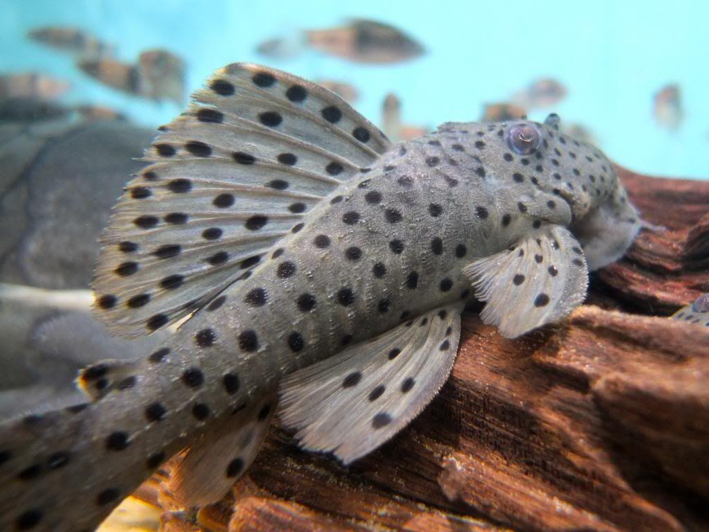 Sultan Pleco Aquarium Fish Pleco Fish Cool Fish