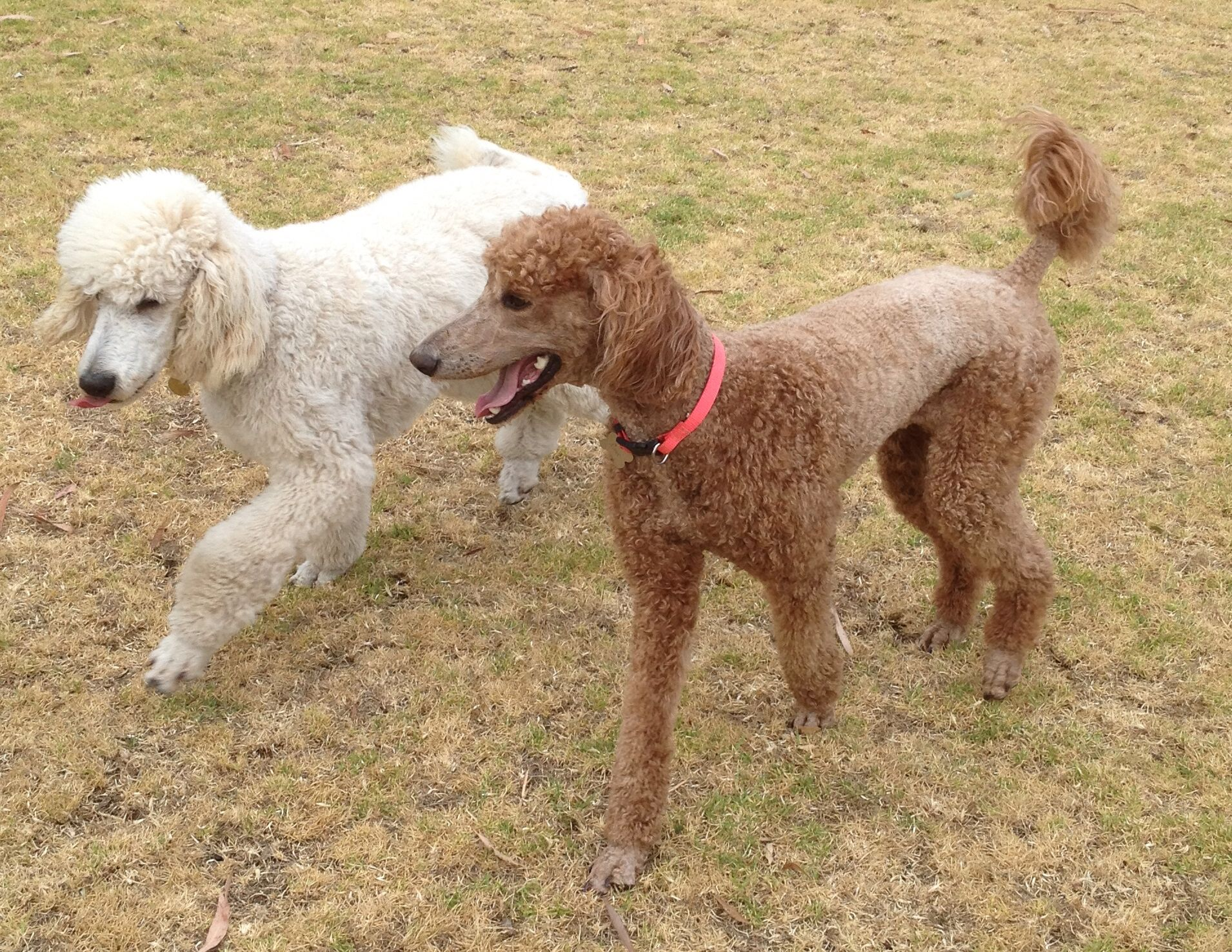 Rafi and Rosie. I love dogs, Poodle, Standard poodle