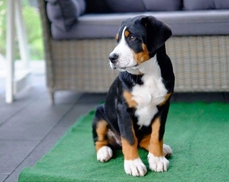 Grosser Schweizer Sennenhund Hunde Schweizer Sennenhund Grosser Schweizer Sennenhund Grosser Schweizer