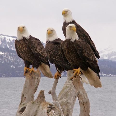 Homer Alaska Eagles by Sandee Rice