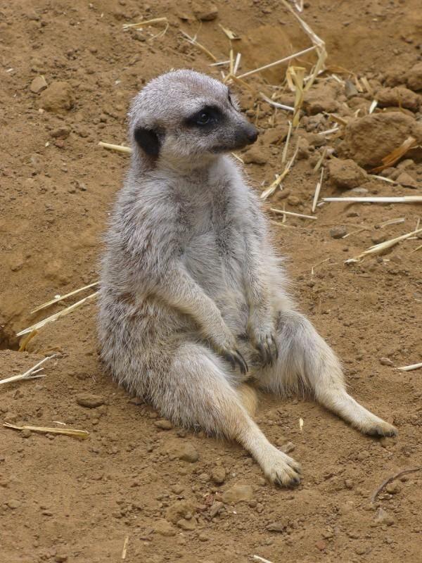 I took this meerkat photo at the San Francisco Zoo :) | San