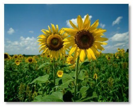 Amazon Com Seeds And Things 50 Sunflower Seeds Skyscraper Usa Giants Patio Lawn Garden Sunflower Seeds Nature Sunflower