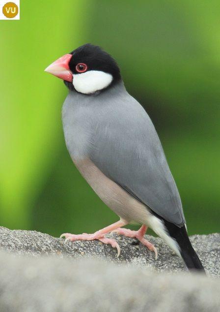 https://www.facebook.com/WonderBirdSpecies/ Sẻ Java; Họ Chim Di-Estrildidae; Loài đặc hữu đảo Java, Indonesia || Java sparrow/finch (Lonchura oryzivora); IUCN Red List of Threatened Species 3.1 : Vulnerable (VU)(Loài sắp nguy cấp).
