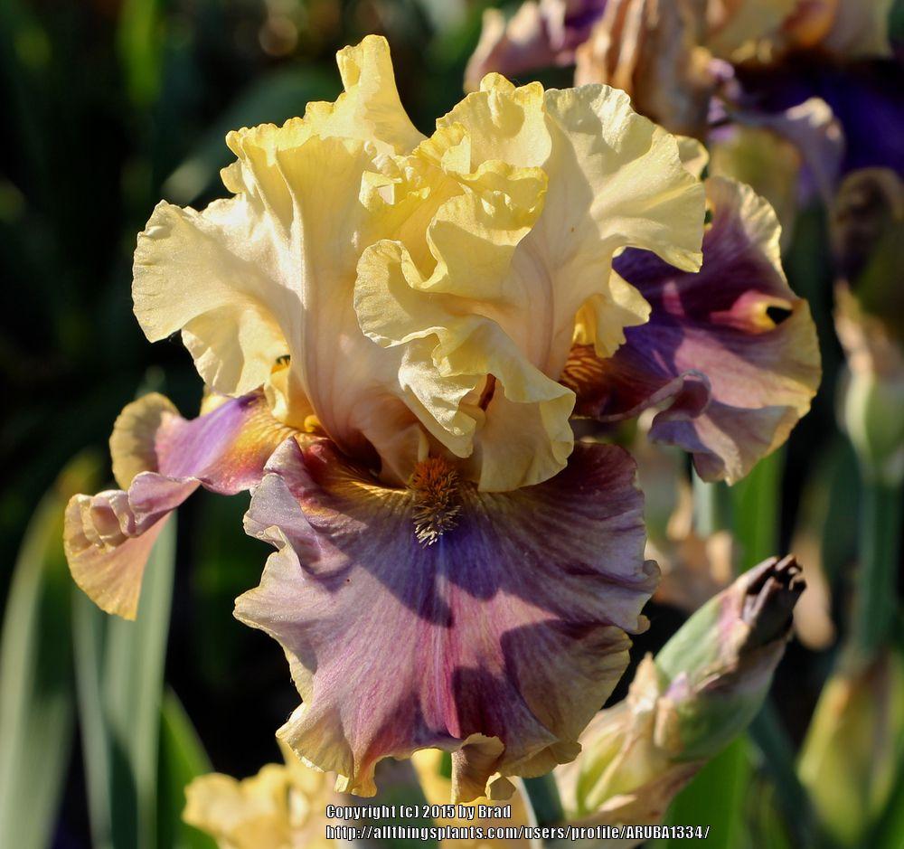 TB Iris germanica 'Hooked on A Feeling' (Johnson, 2015)