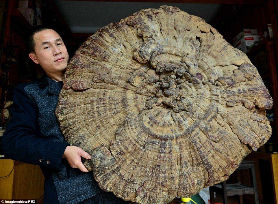 Fantástico hongos: Esta enorme seta mide tres pies (107cm) de ancho y pesa 16,4 libras de escalonamiento (7.45kg).  El hongo oval, popularmente conocido como el