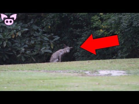 Real Chupacabra Sightings Caught on Camera - YouTube in ...