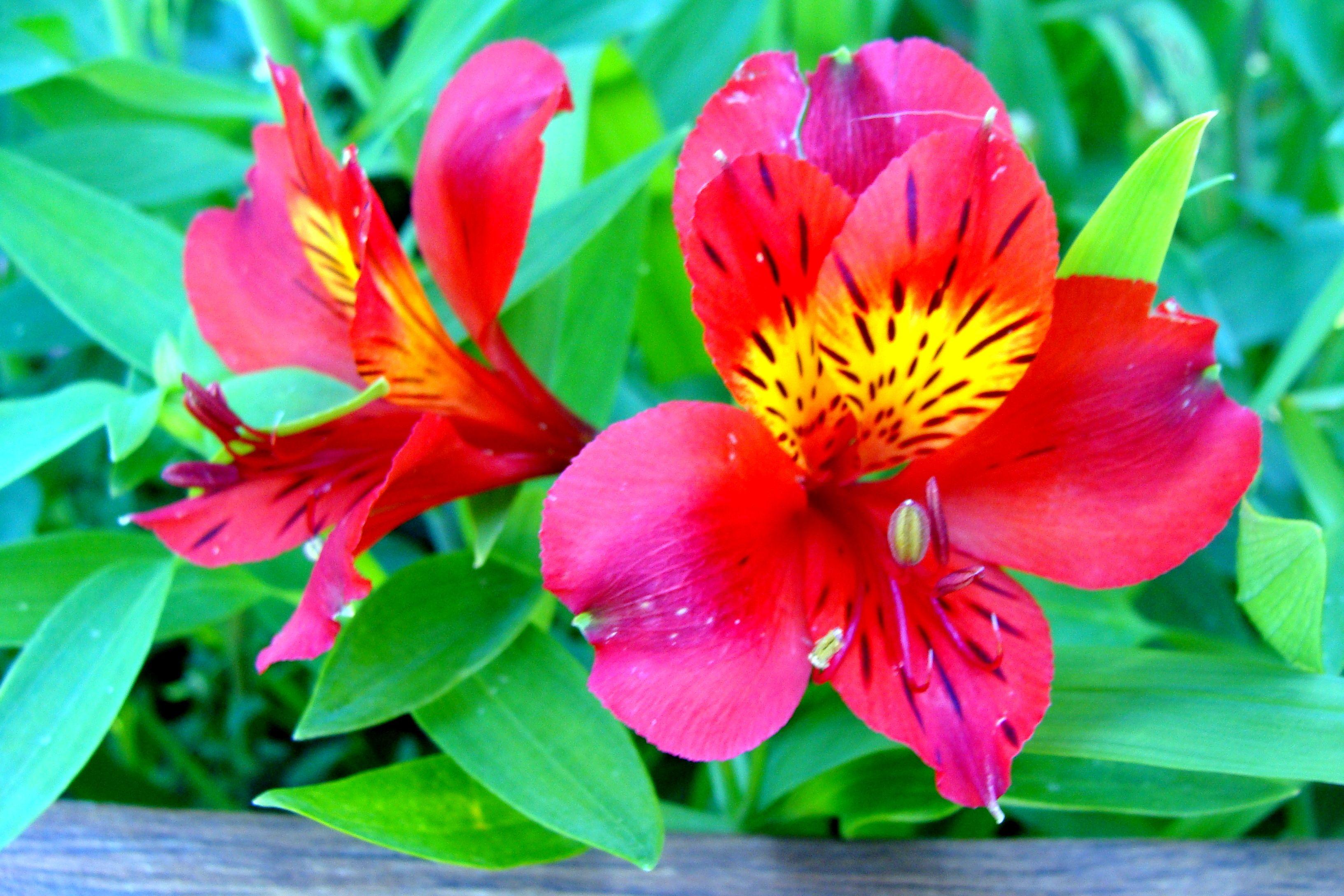 Alstroemerias are strictly south american plants in spanish they alstroemerias are strictly south american plants in spanish they are known as lirio del peru izmirmasajfo Image collections