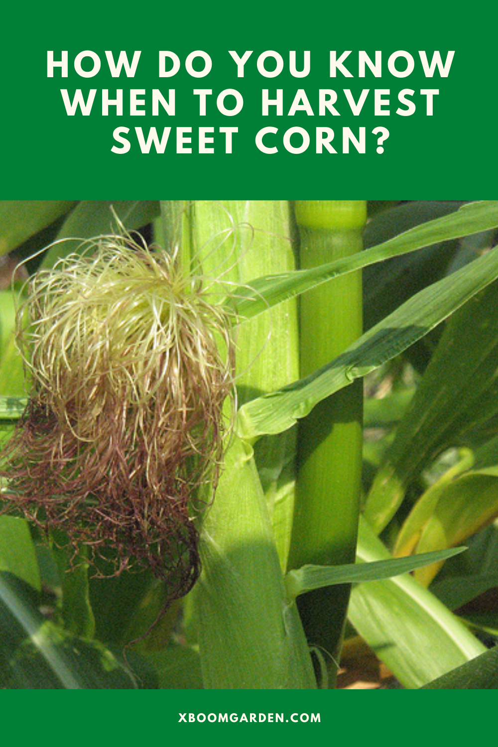 How Do You Know When To Harvest Sweet Corn The Day Will Come Corn Stalks Did You Know