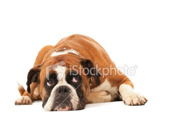 Dog Image Photo Istock Png Dangerous Dogs Dogs Norfolk Terrier Puppies