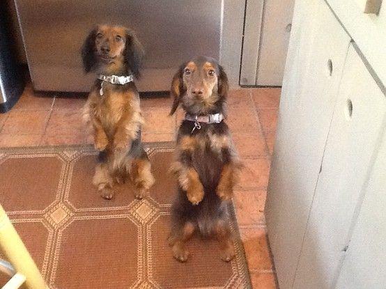 Cookie Brownie Sweet Dogs Mini Dachshund Dachshund